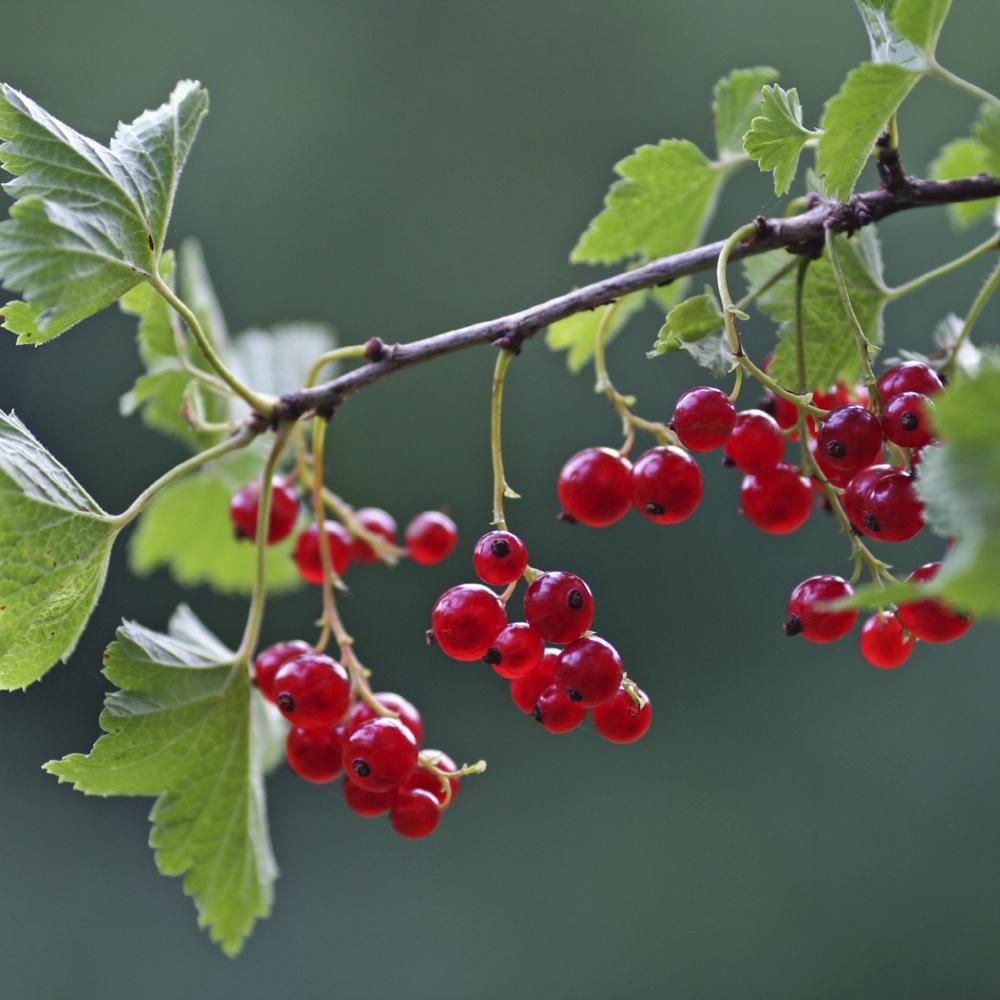 Rote Johannisbeere  'Jonkheer van Tets' (Ribes r. 'Jonkheer van Tets')
