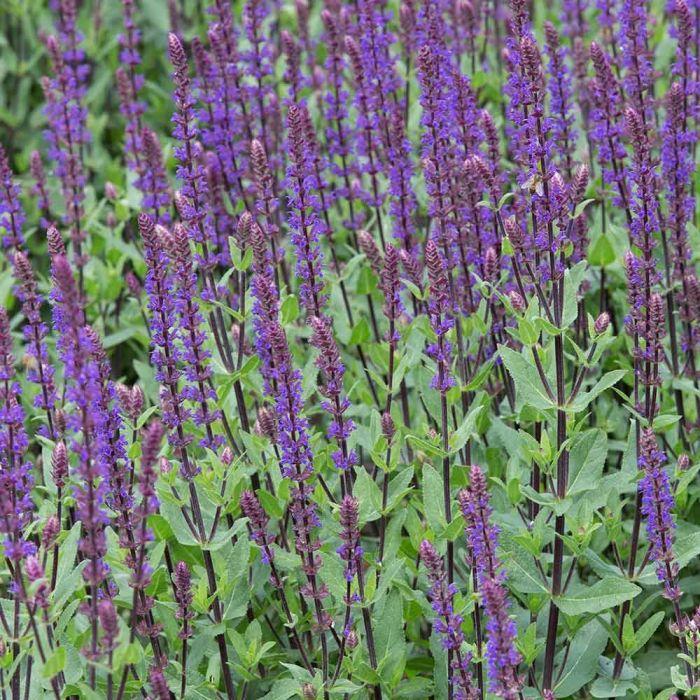 Blüten-Salbei 'Caradonna'