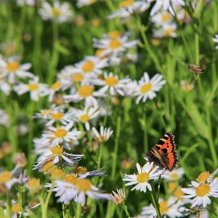 Garten-Schönaster 'Alba'