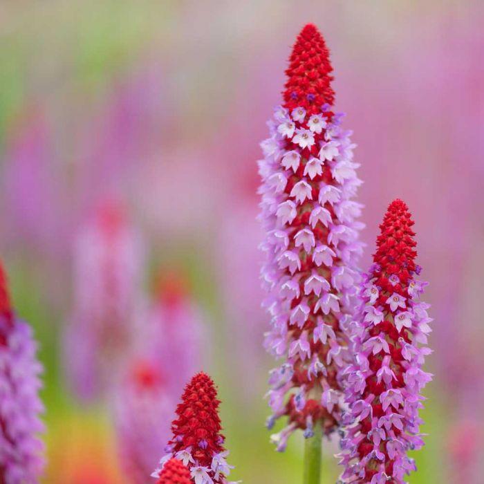 Orchideenprimel (Primula viallii) 8 Stück