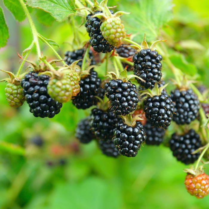 Brombeere 'Black Satin' (Rubus frut. 'Black Satin')