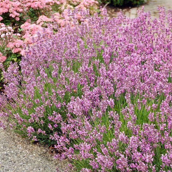 Rosablühender Lavendel 'Rosea' 8 Stück