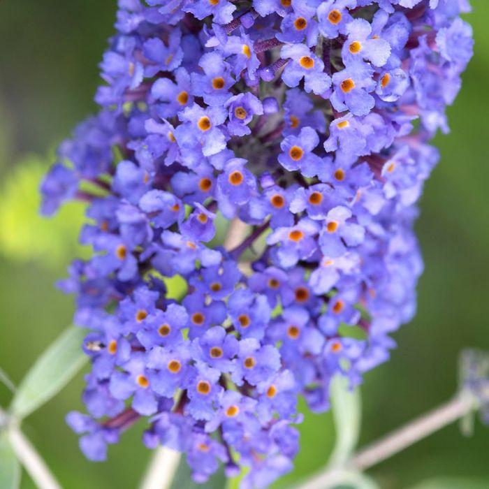 Schmetterlingsflieder 'Blue Horizon'
