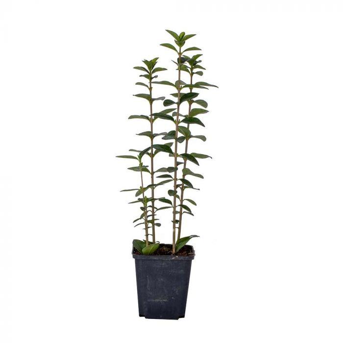 Liguster (Ligustrum ovalifolium) 8 Stück