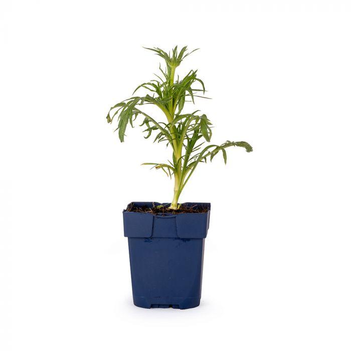 Garten-Skabiose (Scabiosa caucasica 'Alba')