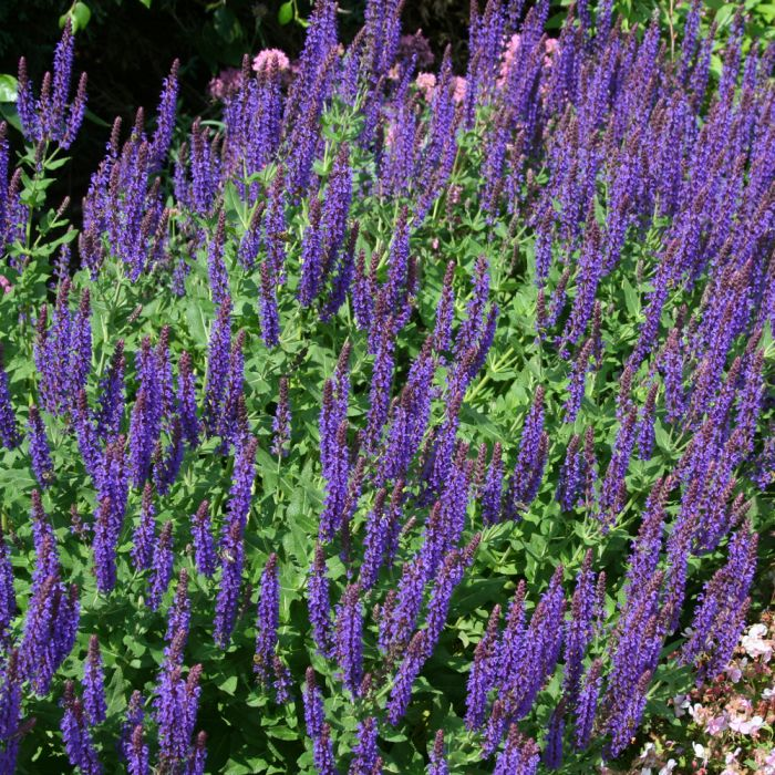 Steppen-Salbei (Salvia nemorosa 'Ostfriesland')
