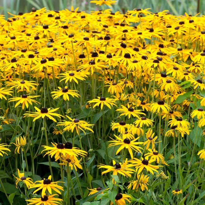 Gelber Sonnenhut (Rudbeckia fulgida 'Goldsturm')
