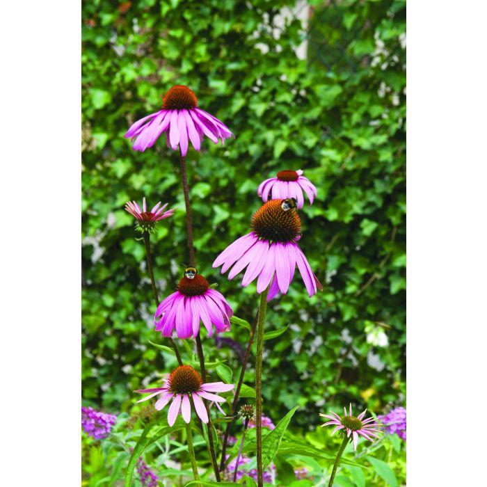 Purpur-Sonnenhut (Echinacea purpurea)