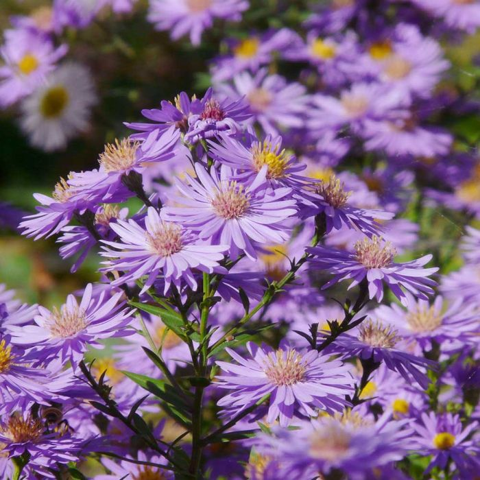 Aster (Aster ageratoides 'Asran')
