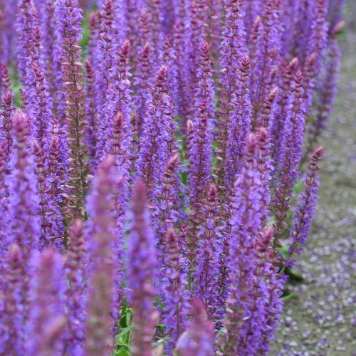 Blüten-Salbei 'Ostfriesland'