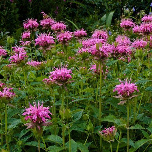 Garten-Indianernessel 'Croftway Pink'