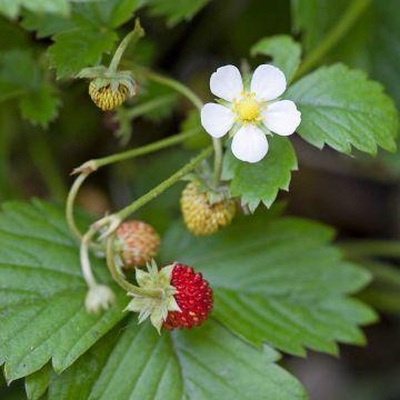 Wald-Erdbeere 8 Stück
