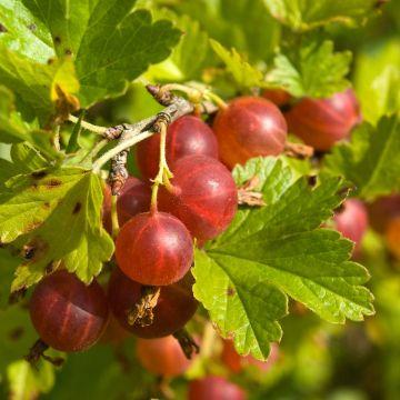 Stachelbeere rot 'Hinnonmaki red' (Ribes u.c. 'Hinnonmaki red')