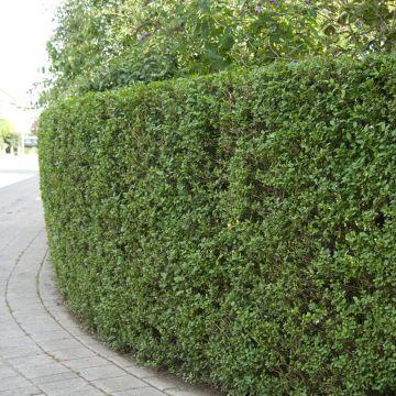 Liguster (Ligustrum ovalifolium)