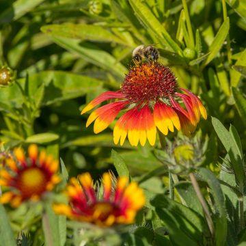 Kokardenblume 8 Stück