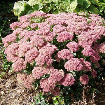 Sedum hybride 'Herbstfreude' (10 plants)