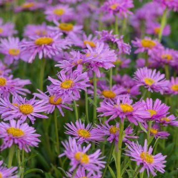Alpen-Aster - Aster Alpinus 'Happy End'