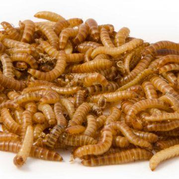 Lebende Buffalowürmer