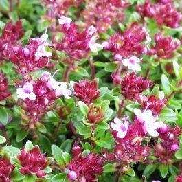 Feldthymian (Thymus Praecox Coccineus)