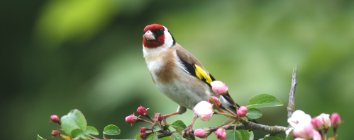 Vogel des Jahres 2016 – der Stieglitz