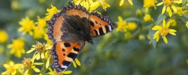 Schmetterling des Jahres 2018  - der Große Fuchs
