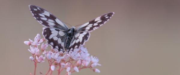 Schachbrettfalter - Schmetterling des Jahres 2019