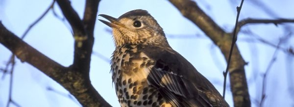 Sprechen Vögel Dialekt?