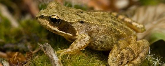 Lurch des Jahres 2018 – der Grasfrosch