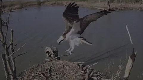 Fischadler Webcam