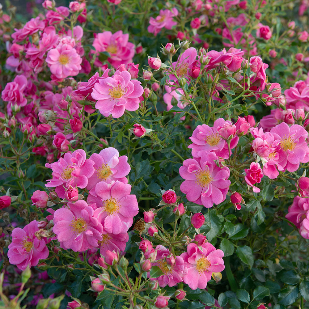 Rose Bijenweelde® rosa