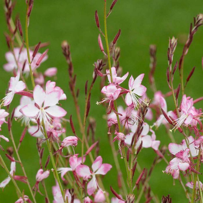 Prachtkerze (Gaura lindheimeri 'Siskiyou Pink')