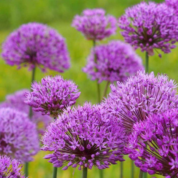 Biologischer Zierlauch 'Purple Sensation'