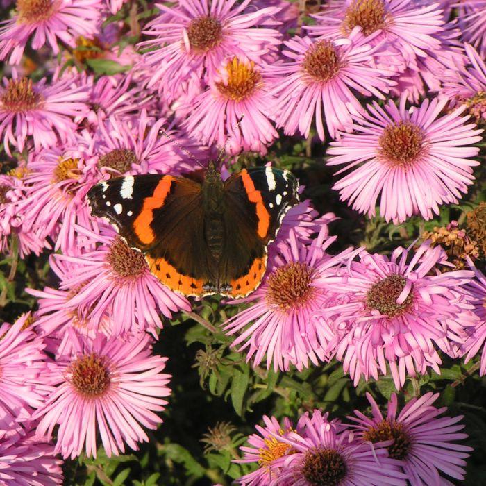 Herbstaster (Aster novae angliae 'Purple Dome')
