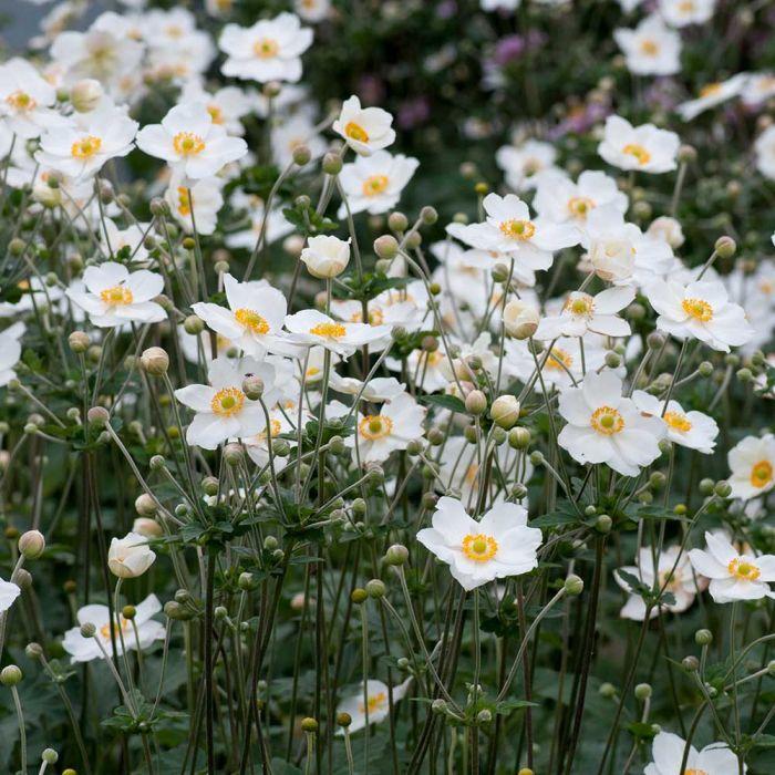 Herbstanemone 'Honorine Jobert' (Anemone hybrida 'Honorine Jobert')