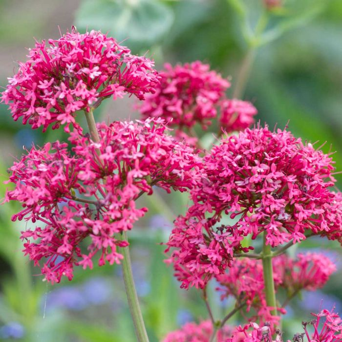 Rote Spornblume (Centranthus ruber 'Coccineus')