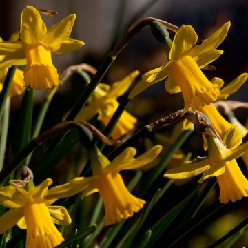 Narzisse Tête-à-Tête (Narcissus Tête-à-Tête)