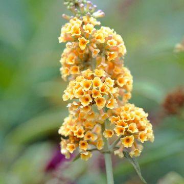 Schmetterlingsflieder 'Sungold'