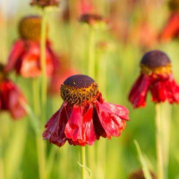 Garten-Sonnenbraut (Helenium 'Moerheim Beauty')