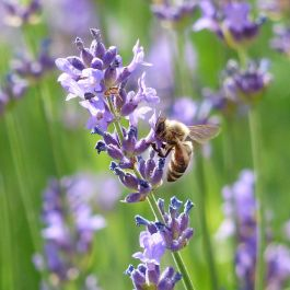 Schmalblättriger Lavendel (Lavandula angustifolia 'Munstead')