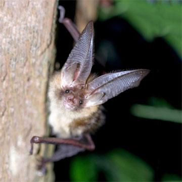 Braunes Langohr (Plecotus auritus)