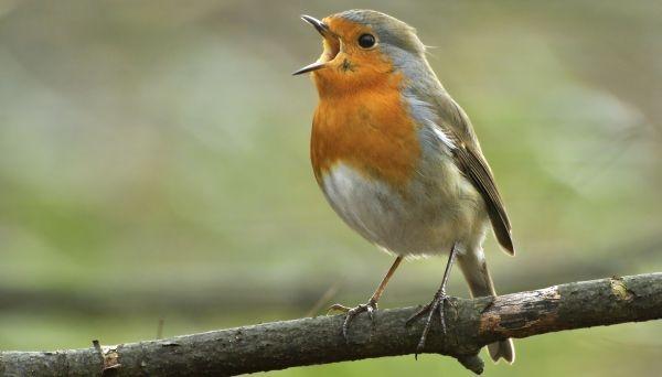 """Pfeift der """"Stadtvogel"""" anders oder lauter?"""