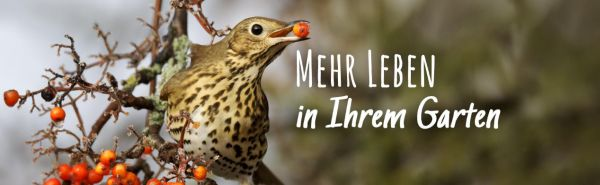 Beerentragende Sträucher – Futter und Nistgehölz für Vögel